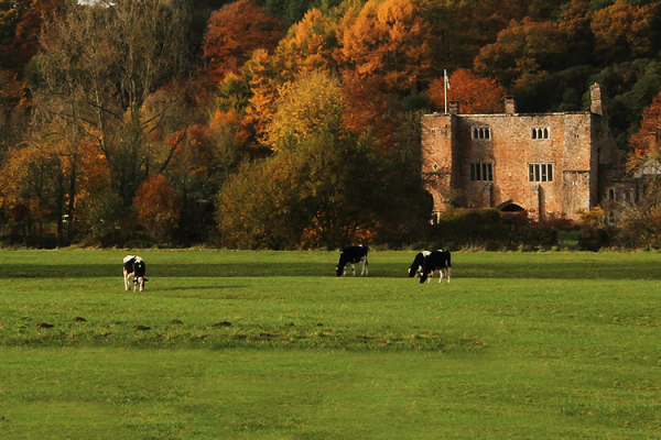 Cattle in the expansive grounds at Bickleigh Castle wedding venue in Devon | CHWV